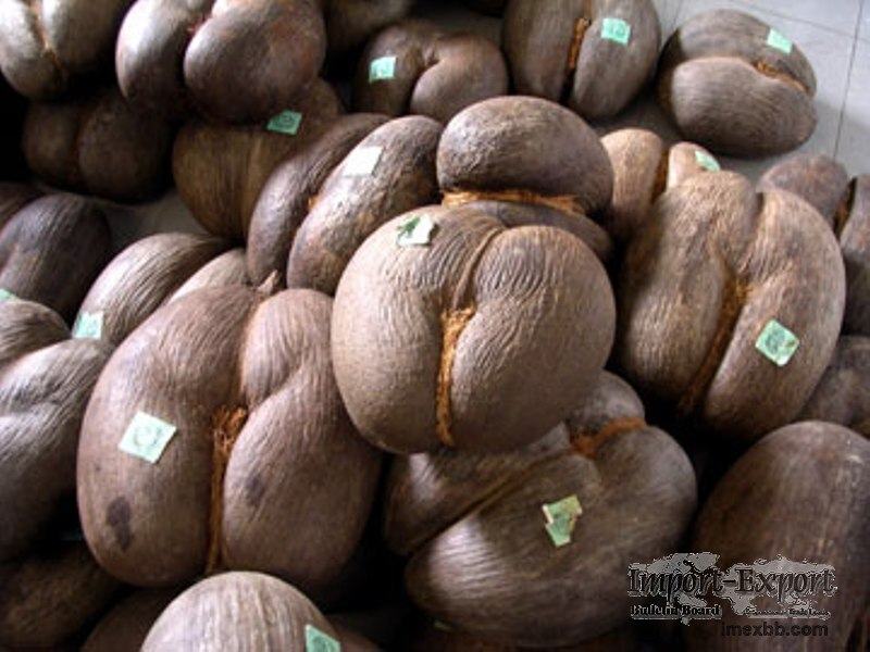 Coco De Mer Seeds For Sale