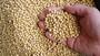 Raw Soybean
