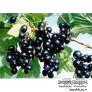 Supply Blackcurrant Juice Concentrate