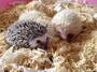 Lovely African Pygmy Hedgehogs & Birds For Sale