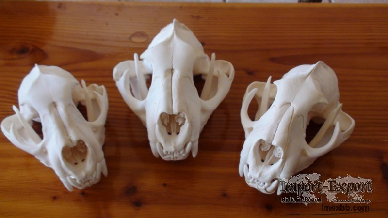 Lion and Bear Skull For sale