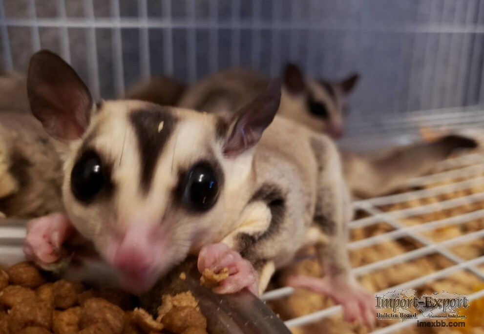 Beautiful Sugar Gliders for sale