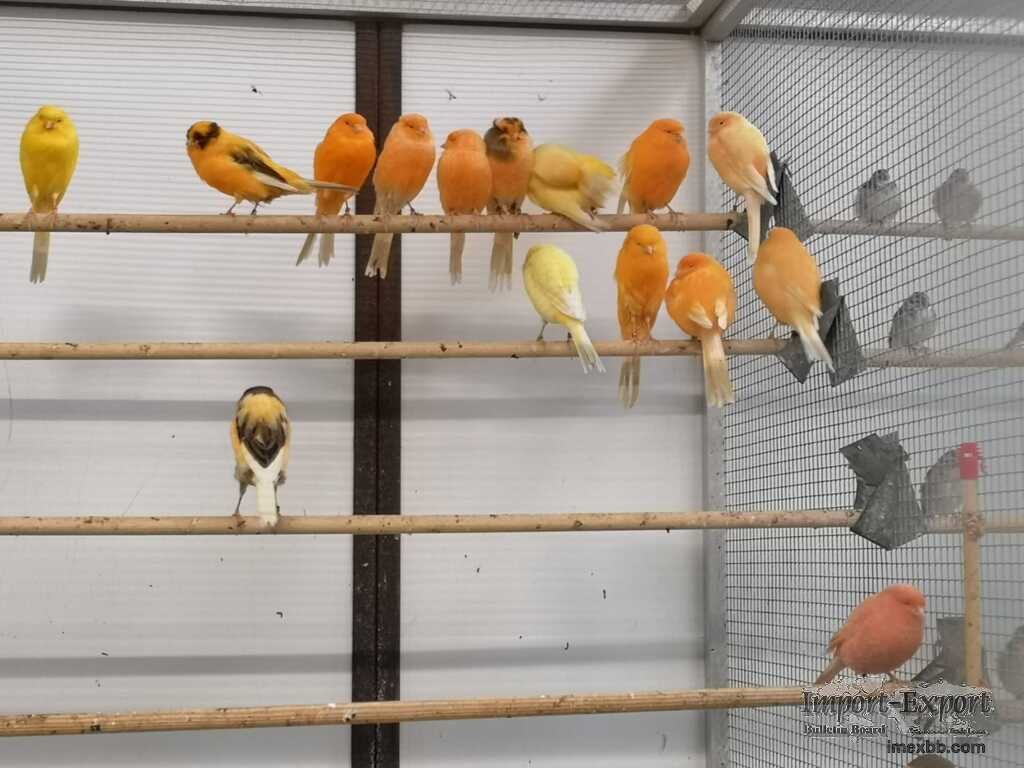 Yorkshire Canary Birds Available For Sale ( New Year Gift)