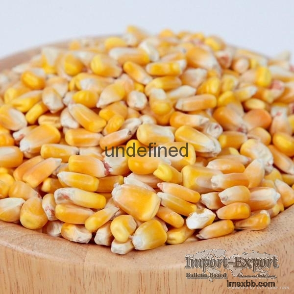 yellow & white maize