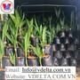 Vietnam best selling coconut seedlings early harvest with big fruit