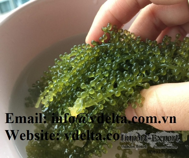 Dehydrated Sea Grapes/ Organic Vietnamese Delicacy Seaweed/ Marinated in Sa