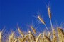 Wheat, Oats, Barley, Brown rice, Millet, Amaranth, Corn, Flaxseed, Sesame s