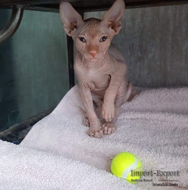 sphynx kittens for sale washi
