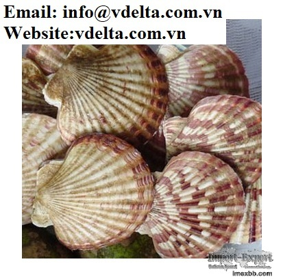 Scallop Shell Material from Vietnam (for crafts, decorations and gifts)
