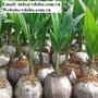 COCONUT SEEDLING /COCONUT TREE / YOUNG COCONUT PLANT TREE VIET DELTA